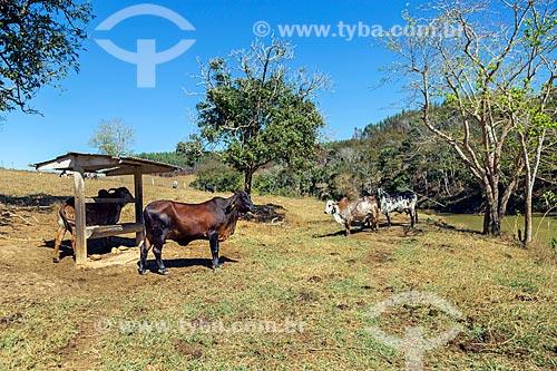 Gado em pasto da zona rural da cidade de Guarani  - Guarani - Minas Gerais (MG) - Brasil