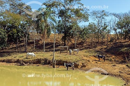 Gado leiteiro às margens de rio na zona rural da cidade de Guarani  - Guarani - Minas Gerais (MG) - Brasil