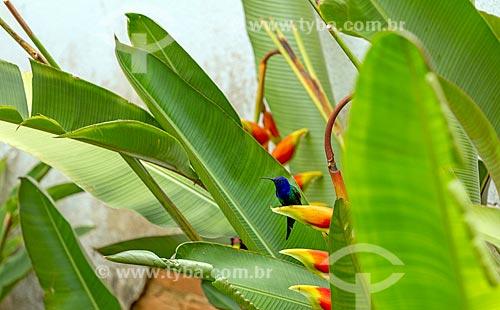 Detalhe de beija-flor em jardim de casa na zona rural da cidade de Guarani  - Guarani - Minas Gerais (MG) - Brasil
