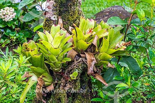 Detalhe de bromélias na Área de Proteção Ambiental da Serrinha do Alambari  - Resende - Rio de Janeiro (RJ) - Brasil