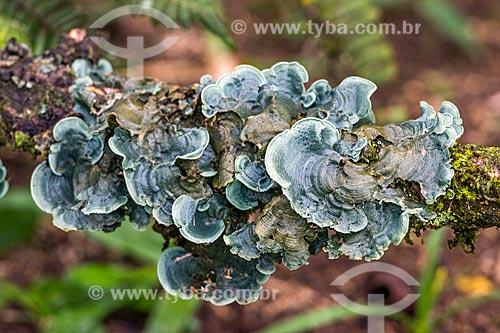 Detalhe de fungos em árvore na Área de Proteção Ambiental da Serrinha do Alambari  - Resende - Rio de Janeiro (RJ) - Brasil