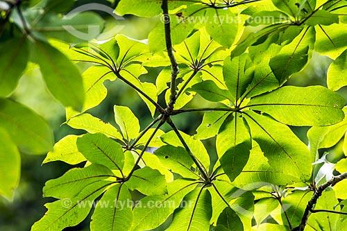 Detalhe de folhas de paineira (Ceiba speciosa) na Área de Proteção Ambiental da Serrinha do Alambari  - Resende - Rio de Janeiro (RJ) - Brasil