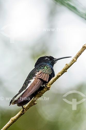 Detalhe do beija-flor-preto (Florisuga fusca) na Área de Proteção Ambiental da Serrinha do Alambari  - Resende - Rio de Janeiro (RJ) - Brasil