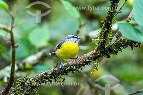 Detalhe de cambacica (Coereba flaveola) - também conhecido como sebinho, sebito ou caga-sebo - na Área de Proteção Ambiental da Serrinha do Alambari  - Resende - Rio de Janeiro (RJ) - Brasil