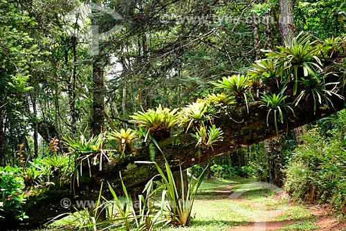 Bromélias em tronco de árvore em parque na cidade de Campos do Jordão  - Campos do Jordão - São Paulo (SP) - Brasil