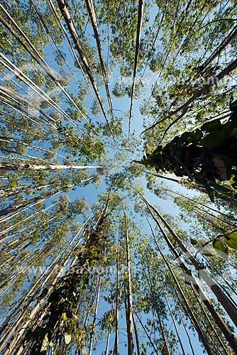 Vista de baixo de plantação de eucalipto  - Guararema - São Paulo (SP) - Brasil