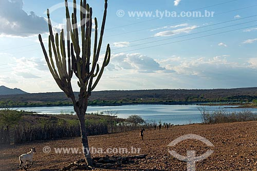 Mandacaru (Cereus jamacaru) às margens do Reservatório Cacimba Nova  - Custódia - Pernambuco (PE) - Brasil