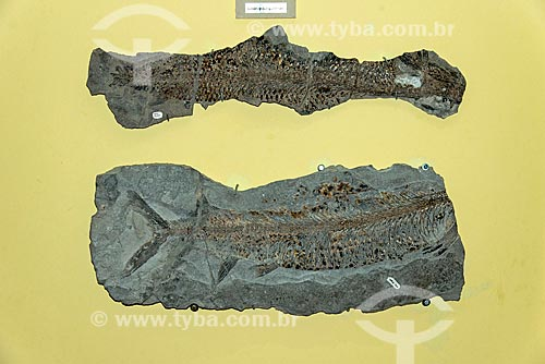 Fósseis em exibição no Museu de Paleontologia da Universidade Regional do Cariri  - Santana do Cariri - Ceará (CE) - Brasil