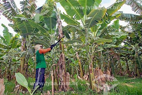 Trabalhador rural colhendo banana em plantação na Região do Cariri  - Barbalha - Ceará (CE) - Brasil