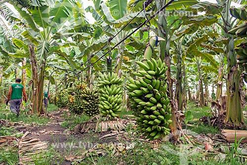 Cachos de bananas colhidos em cabos para transporte em plantação na Região do Cariri  - Barbalha - Ceará (CE) - Brasil