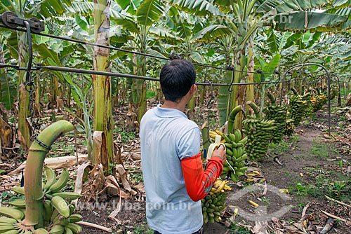 Trabalhador rural comendo banana próximo a cachos de bananas colhidos em cabos para transporte em plantação na Região do Cariri  - Barbalha - Ceará (CE) - Brasil