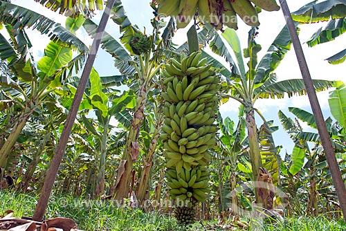 Detalhe de cacho de bananas colhidos em cabos para transporte em plantação na Região do Cariri  - Barbalha - Ceará (CE) - Brasil
