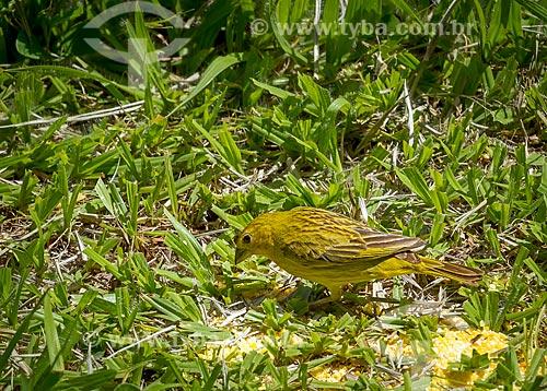 Detalhe de canário-da-terra-verdadeiro (Sicalis flaveola) - também conhecido como Chapinha e Canário-da-horta - se alimentando de canjiquinha  - Guarani - Minas Gerais (MG) - Brasil