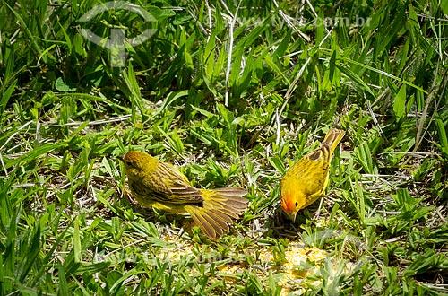 Detalhe de canários-da-terra-verdadeiro (Sicalis flaveola) - também conhecido como Chapinha e Canário-da-horta - se alimentando de canjiquinha  - Guarani - Minas Gerais (MG) - Brasil
