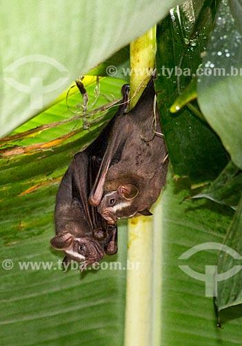 Detalhe de morcegos em bananeira  - Rio de Janeiro - Rio de Janeiro (RJ) - Brasil