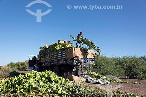 Bananas colhidas por trabalhadores rurais da Tribo Truká  - Cabrobó - Pernambuco (PE) - Brasil