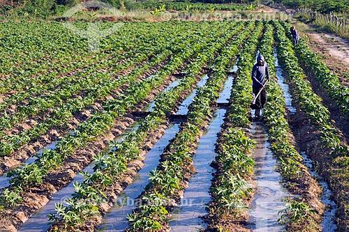Plantação de mandioca na aldeia da Tribo Truká  - Cabrobó - Pernambuco (PE) - Brasil