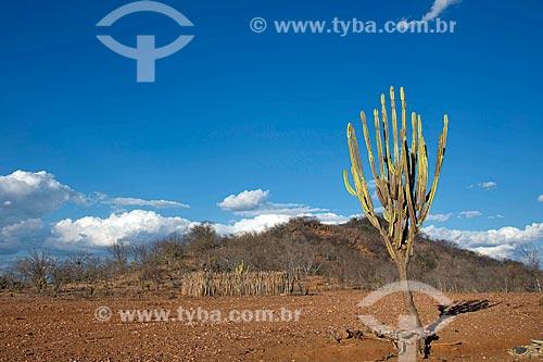 Mandacaru (Cereus jamacaru) em paisagem de caatinga  - Custódia - Pernambuco (PE) - Brasil
