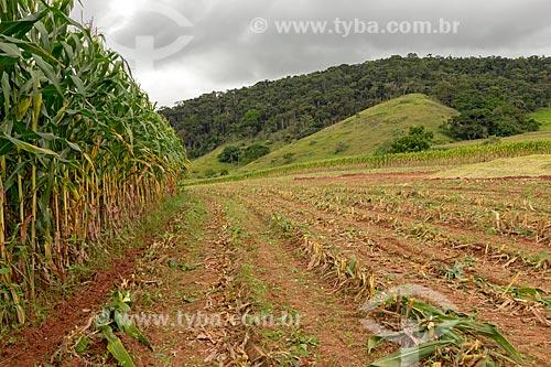 Plantação de milho transgênico - para silagem e alimentação de gado - na zona rural da cidade de Guarani  - Guarani - Minas Gerais (MG) - Brasil