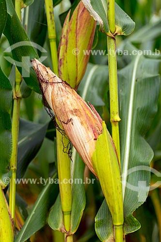 Detalhe de espiga em plantação de milho transgênico - para silagem e alimentação de gado - na zona rural da cidade de Guarani  - Guarani - Minas Gerais (MG) - Brasil