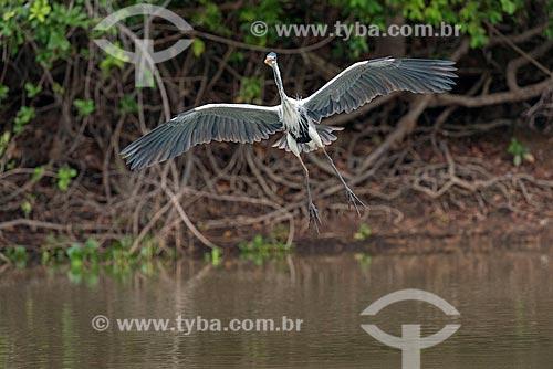 Detalhe de garça-moura (Ardea cocoi) no Pantanal  - Mato Grosso (MT) - Brasil