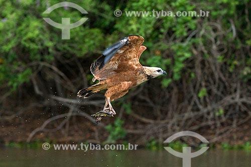 Detalhe de gavião belo (Busarellus nigricollis) pescando no Pantanal  - Mato Grosso (MT) - Brasil