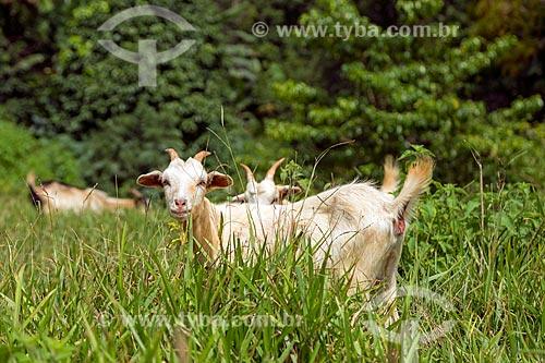 Cabras (Capra aegagrus hircus) em pasto na zona rural da cidade de Guarani  - Guarani - Minas Gerais (MG) - Brasil