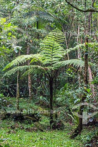 Samambaiaçu (Dicksonia selowiana) na Área de Proteção Ambiental da Serrinha do Alambari  - Resende - Rio de Janeiro (RJ) - Brasil