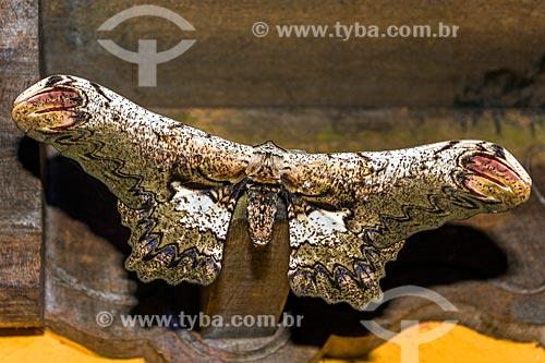 Detalhe da mariposa Loxolomia serpentina na Área de Proteção Ambiental da Serrinha do Alambari  - Resende - Rio de Janeiro (RJ) - Brasil