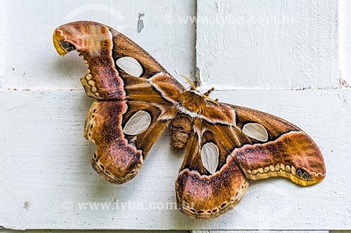 Detalhe de mariposa Rothschildia arethusa na Área de Proteção Ambiental da Serrinha do Alambari  - Resende - Rio de Janeiro (RJ) - Brasil