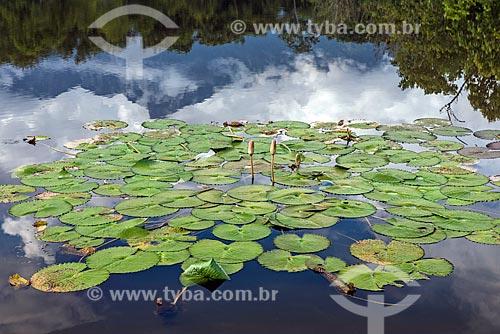 Detalhe de lago com vitória-régia (Victoria amazonica) na Reserva Ecológica de Guapiaçu  - Cachoeiras de Macacu - Rio de Janeiro (RJ) - Brasil