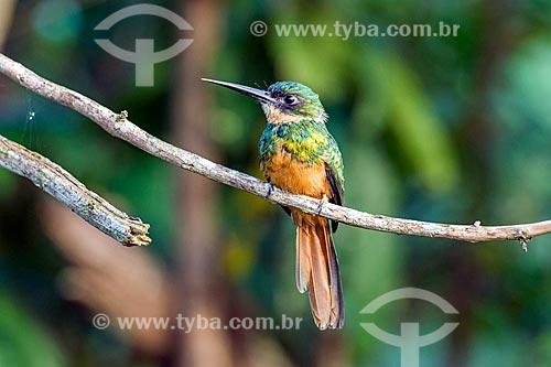 Detalhe de ariramba-de-cauda-ruiva (Galbula ruficauda) próximo à Reserva Ecológica de Guapiaçu  - Cachoeiras de Macacu - Rio de Janeiro (RJ) - Brasil