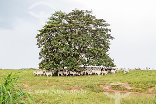 Criação de gado descansando em sombra de árvore entre as cidades de Mossâmedes e Mirandópolis  - Mossâmedes - Goiás (GO) - Brasil