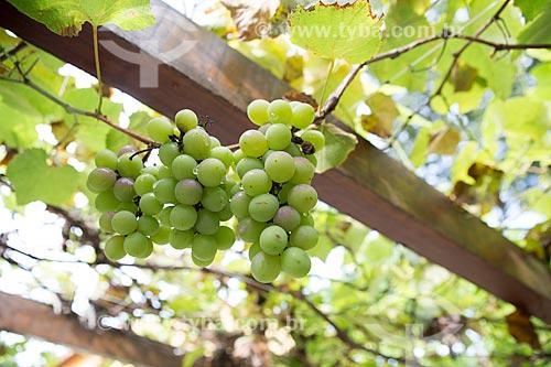 Detalhe de cacho de uva ainda na videira - zona rural da cidade de Pirenópolis  - Pirenópolis - Goiás (GO) - Brasil
