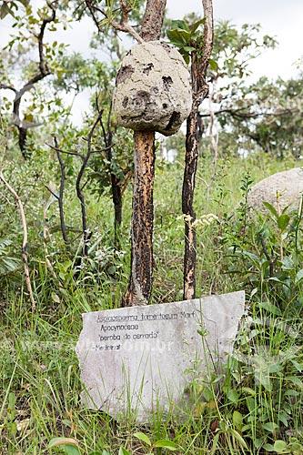 Detalhe de peroba-do-cerrado (Aspidosperma tomentosum) - conhecida por suas propriedades medicinais - na Reserva Ecológica Vargem Grande  - Pirenópolis - Goiás (GO) - Brasil