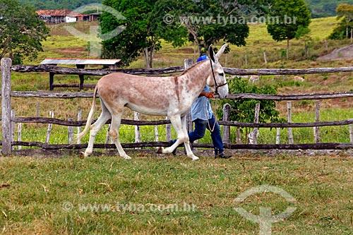Jumento Pêga no pasto do Haras Ipiranga  - Itororó - Bahia (BA) - Brasil