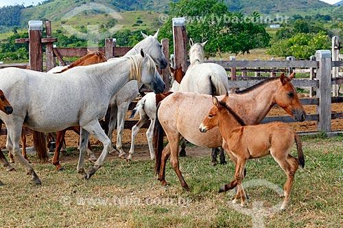 Jumentos Pêga e éguas no pasto do Haras Ipiranga  - Itororó - Bahia (BA) - Brasil