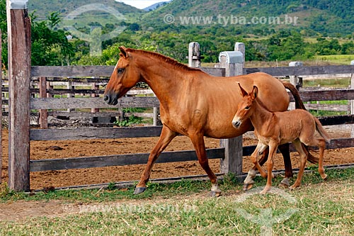 Jumento Pêga e égua no pasto do Haras Ipiranga  - Itororó - Bahia (BA) - Brasil