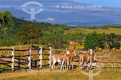 Jumentos Pêga no pasto do Haras Ipiranga  - Itororó - Bahia (BA) - Brasil