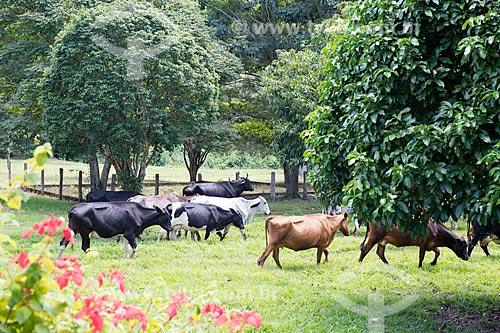 Gado no pasto da fazenda São Geraldo  - Paraíba do Sul - Rio de Janeiro (RJ) - Brasil
