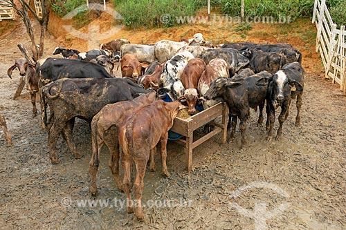 Gados Gir em fazenda na zona rural da cidade de Guarani  - Guarani - Minas Gerais (MG) - Brasil