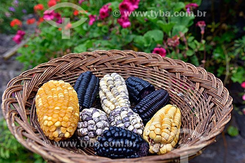 Cesta com variedade de espigas de milho, maíz morado (milho roxo) e variações  - Cusco - Departamento de Cusco - Peru