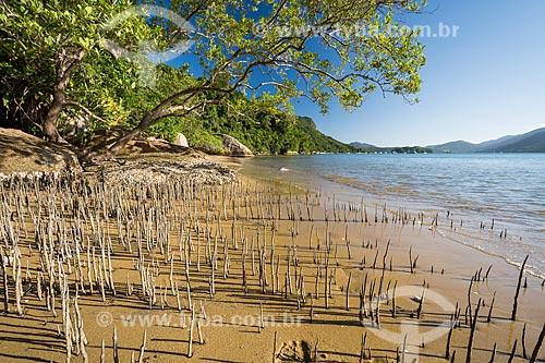 Raízes de mangue crescendo em praia no Saco do Mamanguá  - Paraty - Rio de Janeiro (RJ) - Brasil