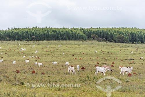 Gado no pasto na Chapada dos Veadeiros  - Alto Paraíso de Goiás - Goiás (GO) - Brasil