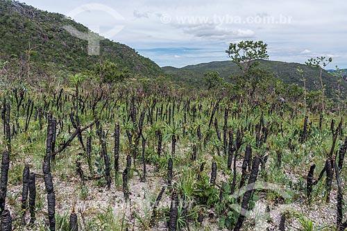 Detalhe de canela-de-ema (Vellozia squamata) - vegetação típica do cerrado - na Chapada dos Veadeiros  - Alto Paraíso de Goiás - Goiás (GO) - Brasil