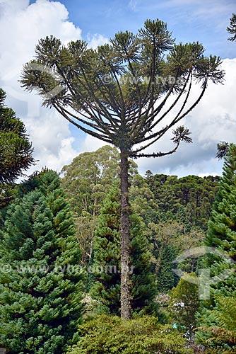 Vista de araucária (Araucaria angustifolia) no Parque do Lago Negro  - Gramado - Rio Grande do Sul (RS) - Brasil