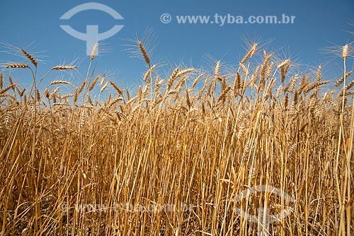 Detalhe de plantação de trigo  - Arapoti - Paraná (PR) - Brasil