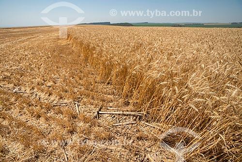 Detalhe de plantação de trigo durante a colheita  - Arapoti - Paraná (PR) - Brasil