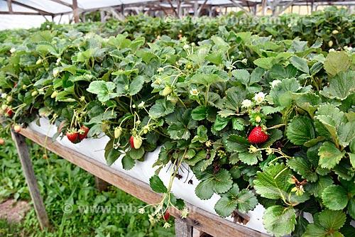 Plantação de morango em estufa de propriedade rural as margens da Rodovia RS-235 - sentido Nova Petrópolis  - Gramado - Rio Grande do Sul (RS) - Brasil