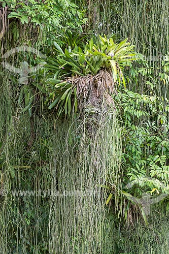 Bromélias na Reserva Ecológica de Guapiaçu  - Cachoeiras de Macacu - Rio de Janeiro (RJ) - Brasil